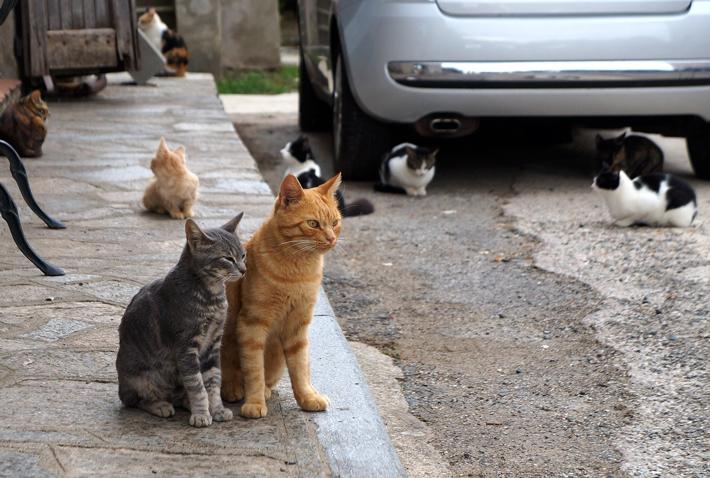 chats-corse