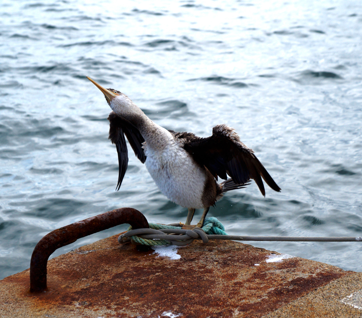 cormoran2