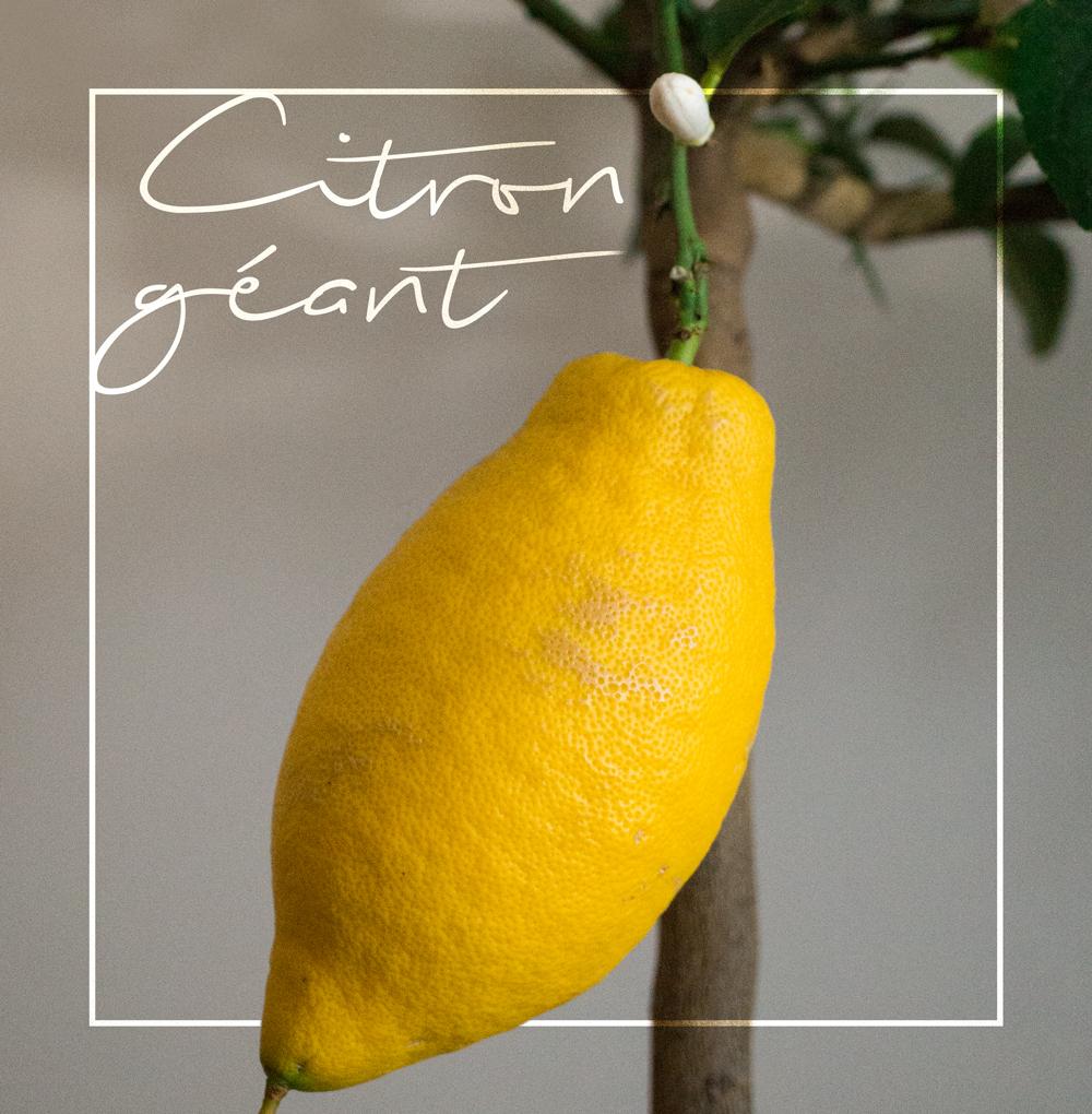 bluette.fr // citronnier domestique