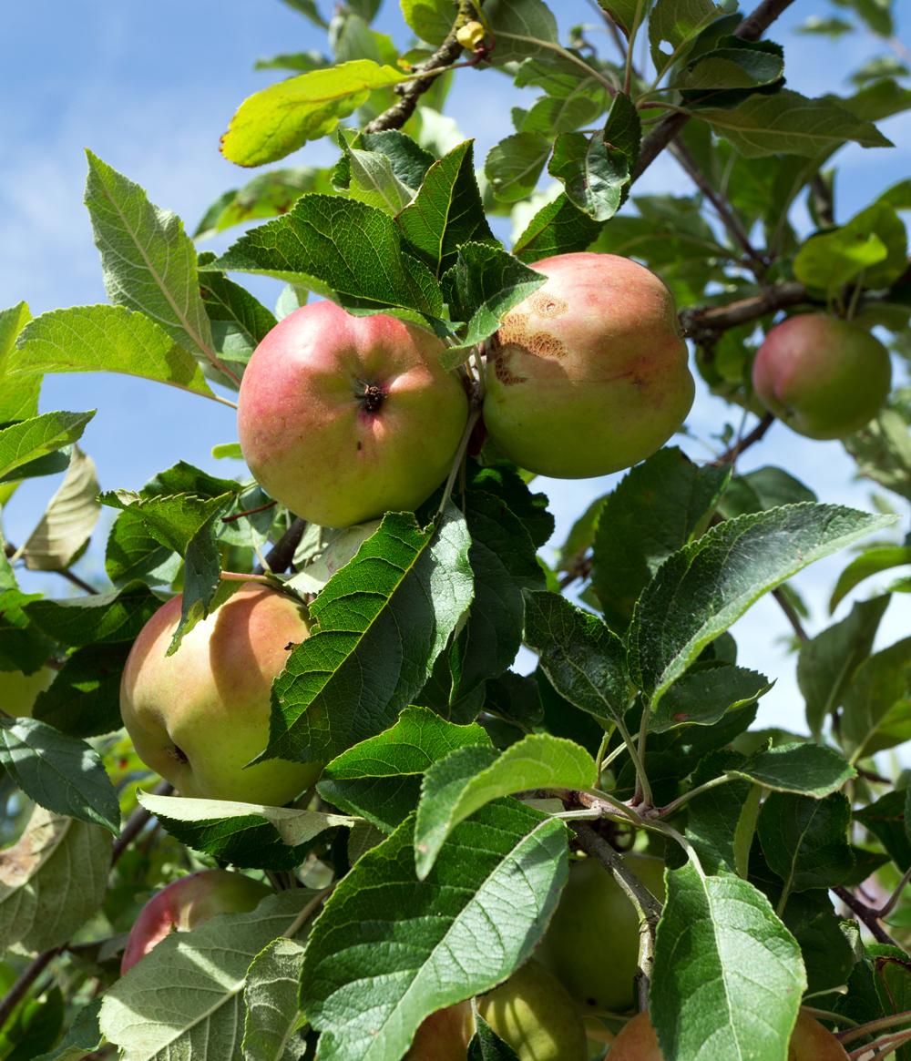 bluette.fr pommes
